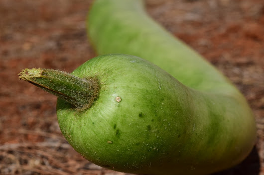 Why Use Bottle Gourd Juice to Lose Weight