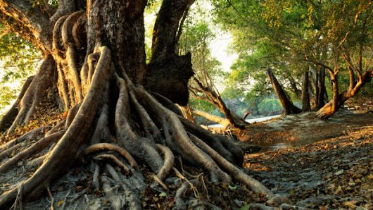 Why some trees evolved to live underground