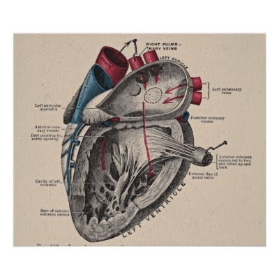 human heart diagram with labels. diagram of a human heart,