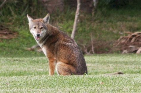 Florida Coyote in Sarasota Photo and Information