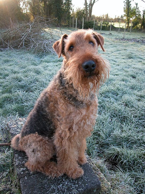 Airedale Terriers: 7 Reasons to Own and Love One  WayCoolDogs.com