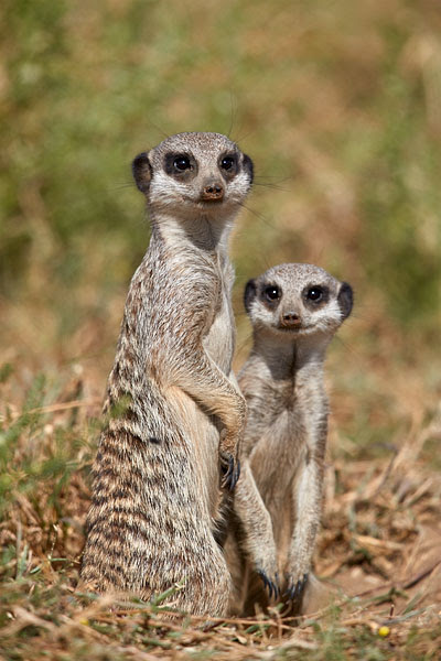 JHP Blog - January 8, 2018 - Two Meerkat, Mountain Zebra National Park, South Africa