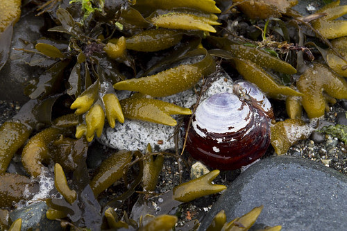 rockweed & varnish clam