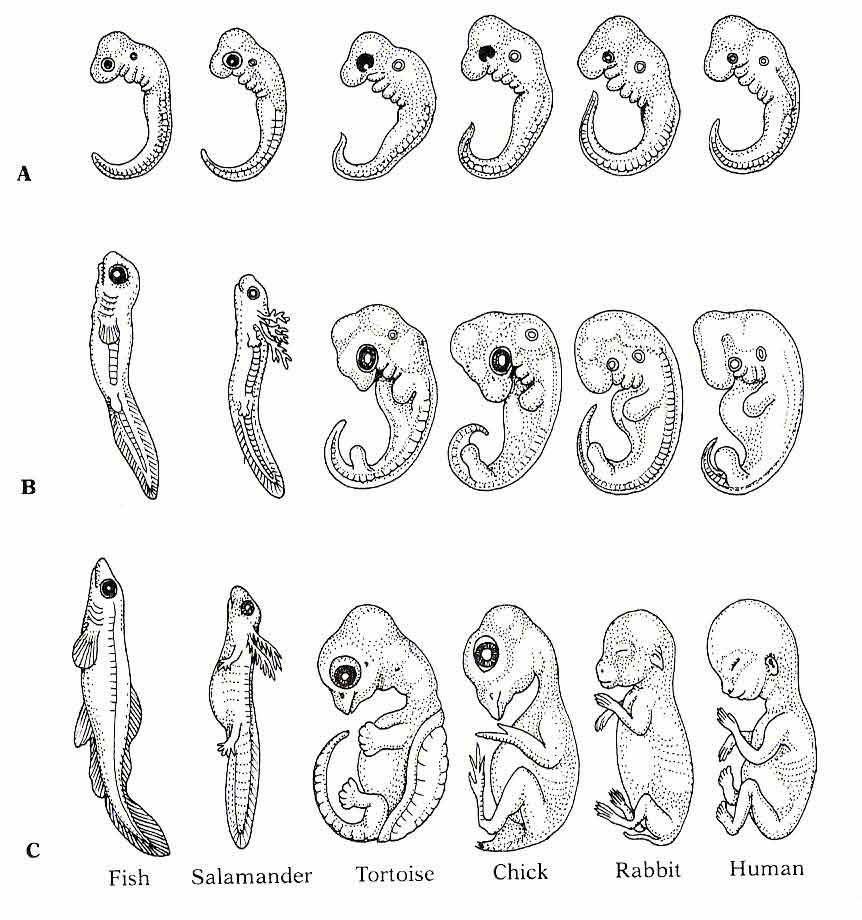 Comparative Embryology - the Differentiation of Form from a Common Origin