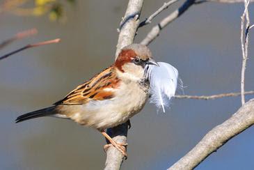 Cuantas más plumas transporta el gorrión al nido, más huevos pone la hembra