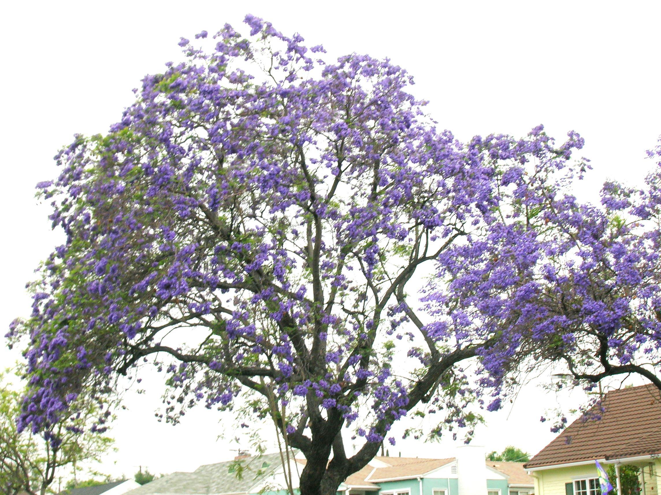 Images Of Purple Flowering Trees Top