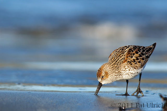 Western sandpiper in breeding plumage - Pat Ulrich Wildlife Photography