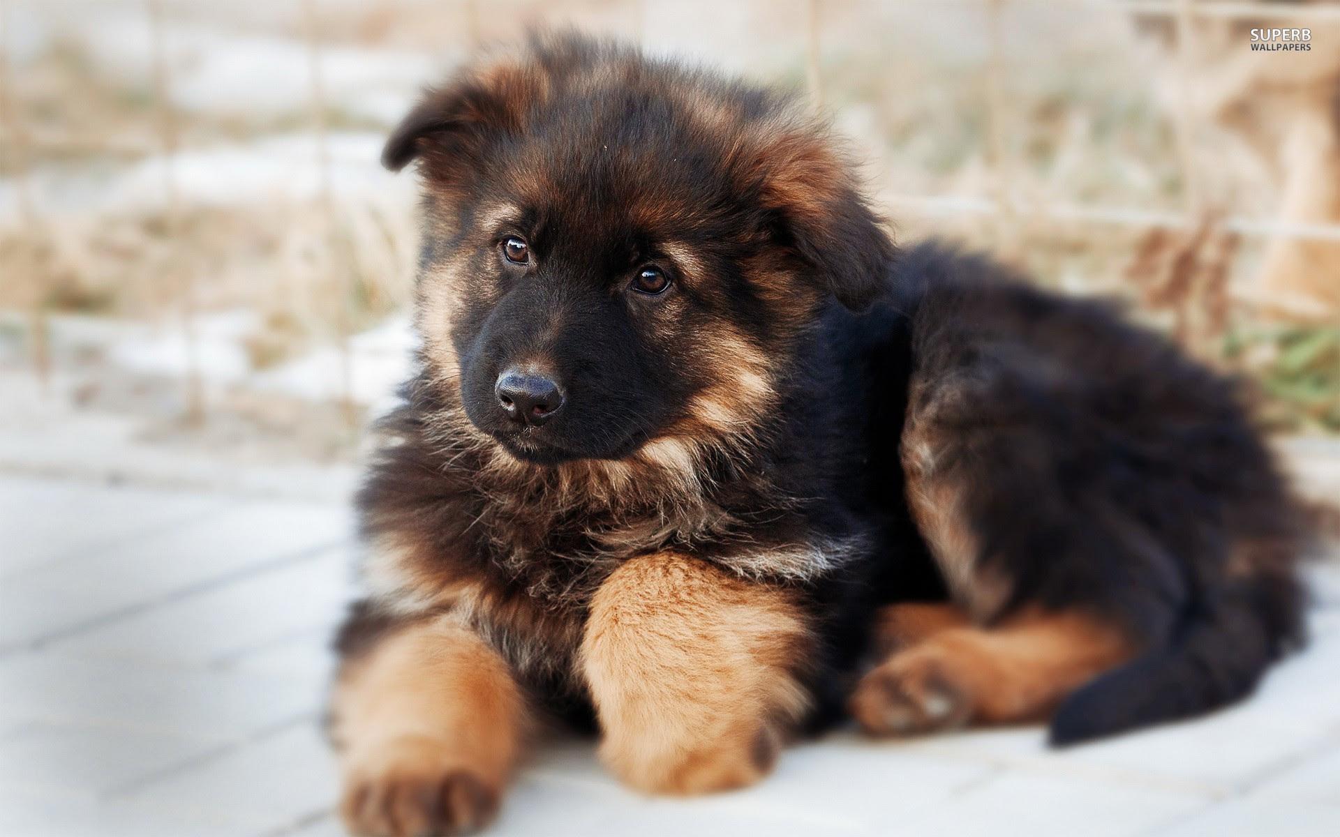 German Shepherd puppies for sale | South Australia