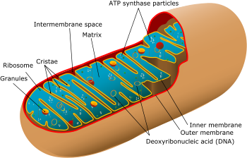 A diagram showing a mitochondrion of the eukar...