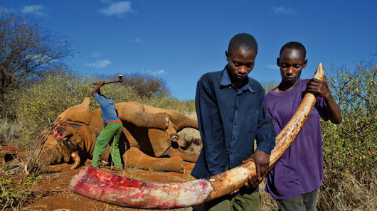Enact Legislation Outlawing Ivory and Rhino Horn Trade in Massachusetts
