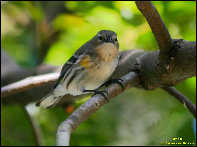 Yellow-rumped Warbler, Myrtle Warbler