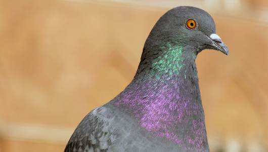 Facts and information about pigeons | OneKind