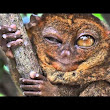True Facts About The Tarsier by Ze Frank