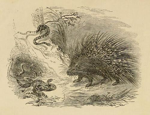 Herinaceus et Vipera