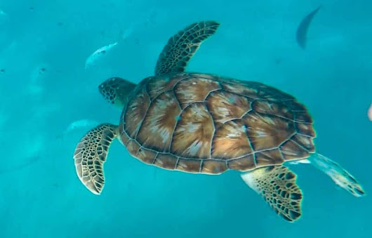 Swimming with Turtles in Barbados - Intrepid Escape