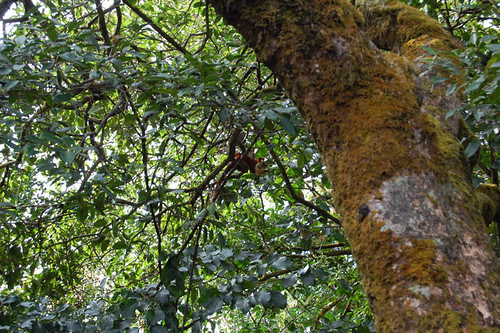Giant Malabar Tree Squirrel