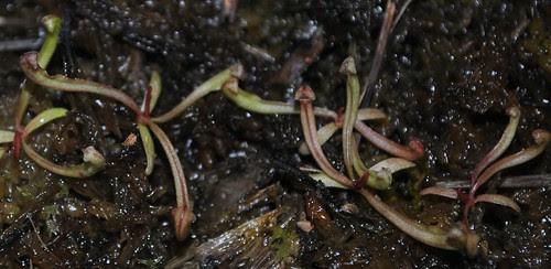 Sarracenia oreophila x 'Toadmaster'
