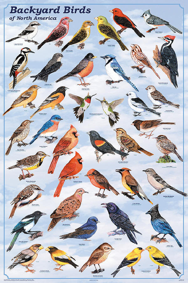 Backyard_Birds_Poster