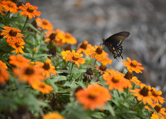 Cheatham Lake seeks volunteers for Monarch Waystation
