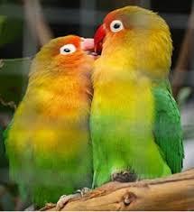 40+  Gambar Burung Lovebird Kocak  Paling Keren