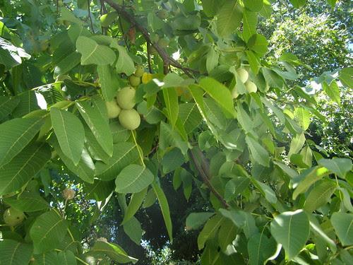 walnut tree topolia hania chania