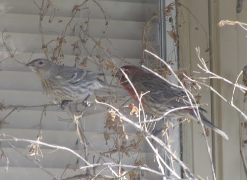 Mom and Dad Redpoll