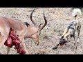 Top African Wild Dogs attack on Impala videos compilation