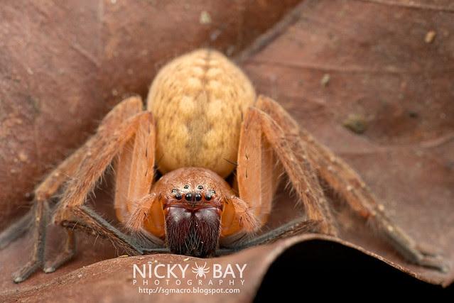 Huntsman Spider (Sparassidae) - DSC_1793