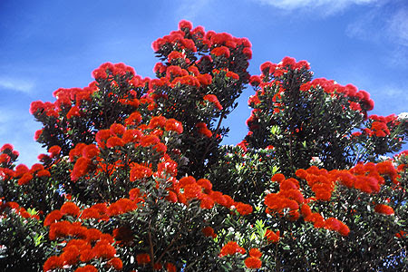 Red Pohutukawa Tree Photo