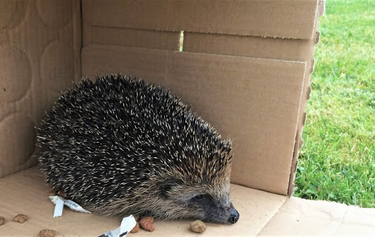 The rescue, recovery and release of a little hedgehog - Mum's Gone To ...