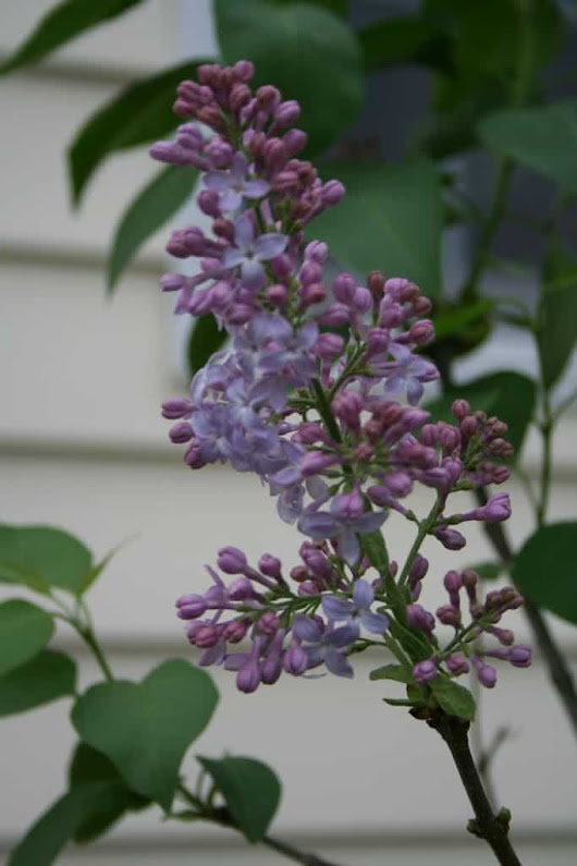 Why Aren't My Lilacs Blooming? - Home Garden Joy