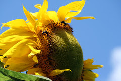 sunflower 033