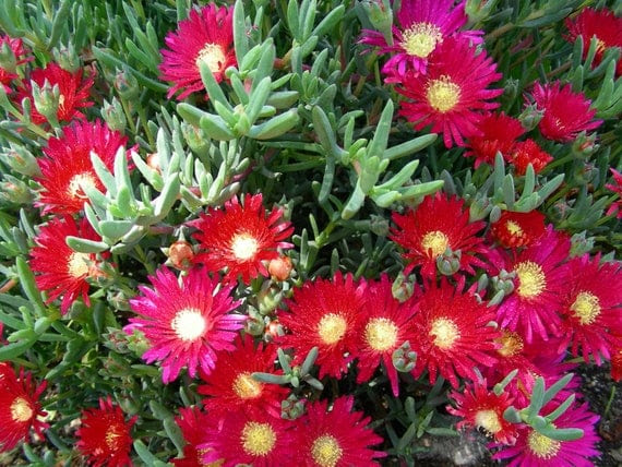 18 Pcs Perennial Ice Plants Ground Delosperma Sphalmanthoide Cuttings, P4929