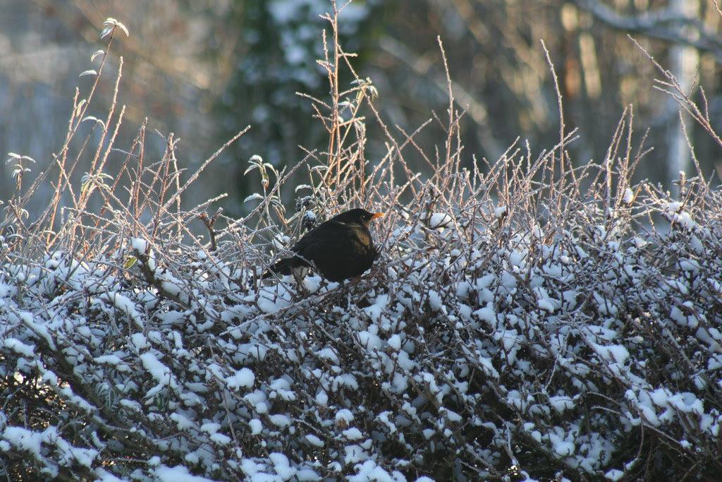 Blackbird in the Garden