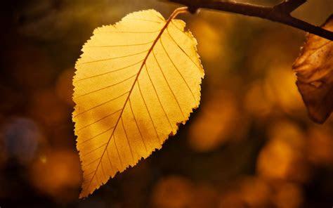 hd golden leaf desktop wallpaper