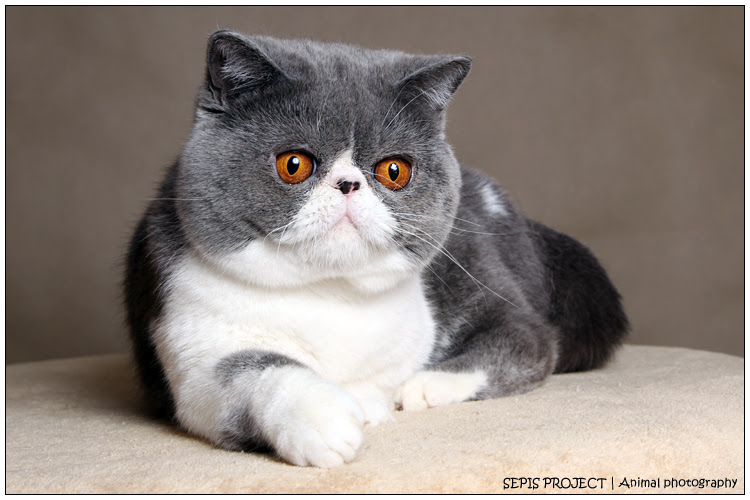 Kot Perski Niebieski Cena