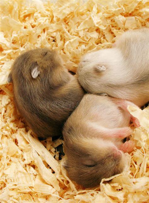 Baby Hamsters Sleeping Royalty Free Stock Photo   Image: 12611905