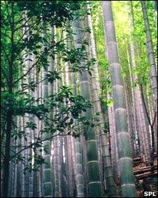 Resultado de imagen para bambu y el cambio climatico
