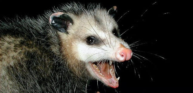 A North Carolina town drops a possum at midnight on New Year's Eve
