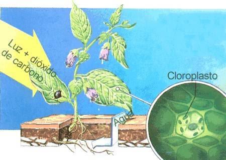La fotosíntesis se realiza en los cloroplastos de las células vegetales, gracias a una sustancia llamada clorofila.