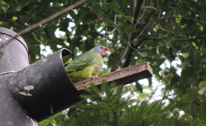 Filhote de papagaios-de-cara-roxa