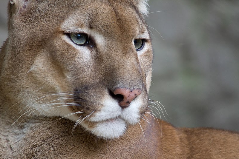 File:Puma face.jpg