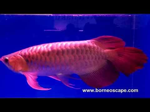 The Beauty of Ancient Fish - Arowana