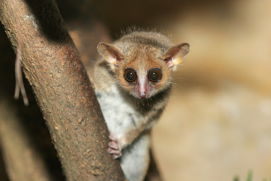 The mouse lemur: a new genetic model organism