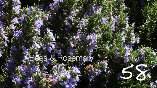 Bees and Rosemary — A Minute in the Garden 58 from A Gardener's Notebook [Video] (1:00) |  A Gardener's Notebook