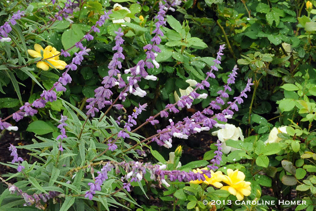 mexican bush salvia & yellow knock-out roses