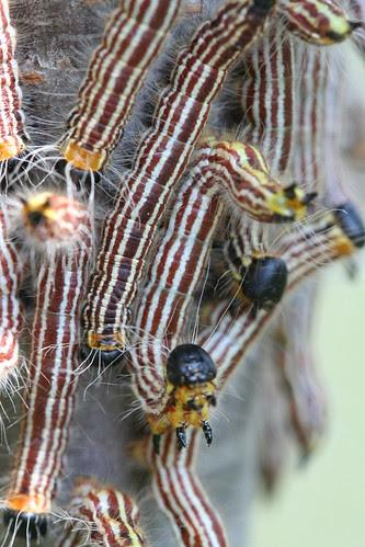 sawfly larvae disturbed