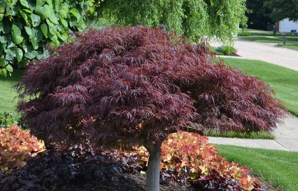 Stunning Japanese Maples Transform The Landscape Design