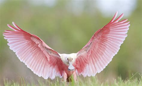 Pink Angel Touchdown   Wild View