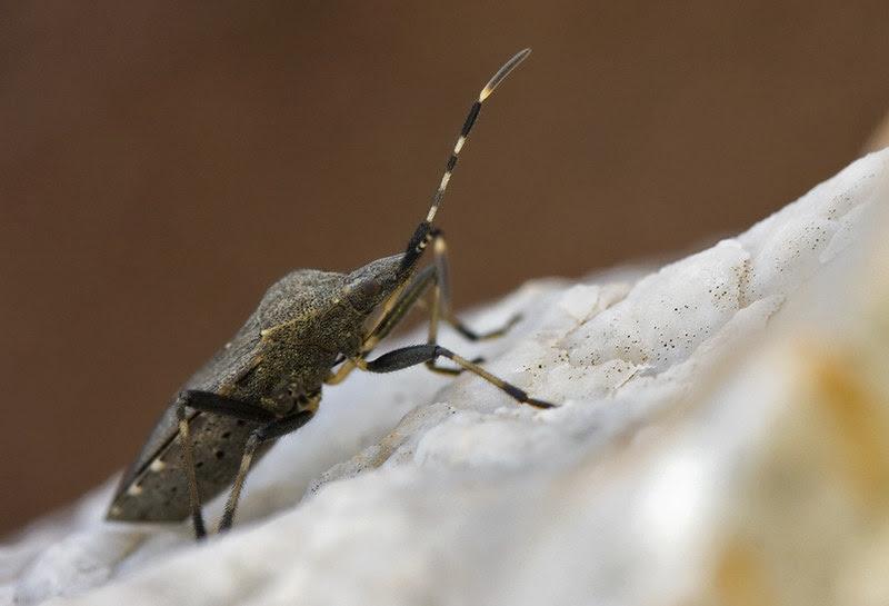 Leaf-footed bug (family Coreidae)